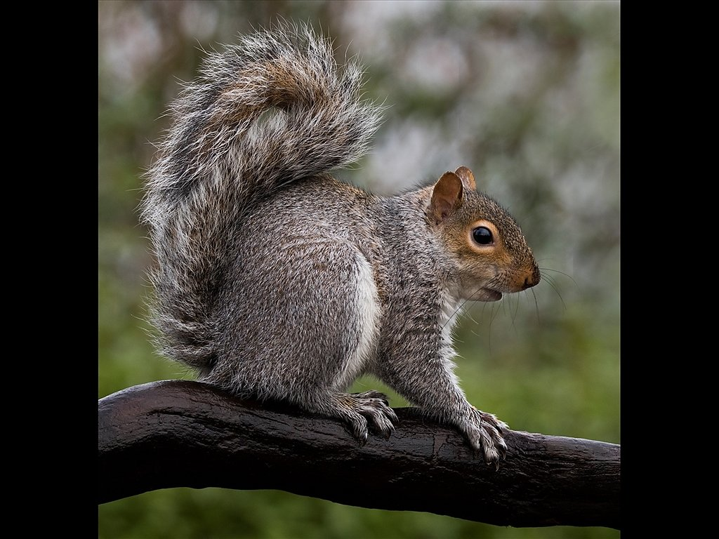 Grey Squirrel (c) Mike Atkinson [Commended]