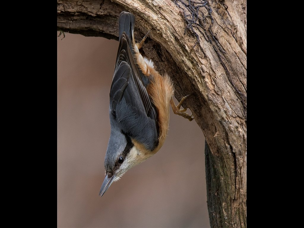 Nuthatch on dead Branch (c) Mike Atkinson [Highly Commended]