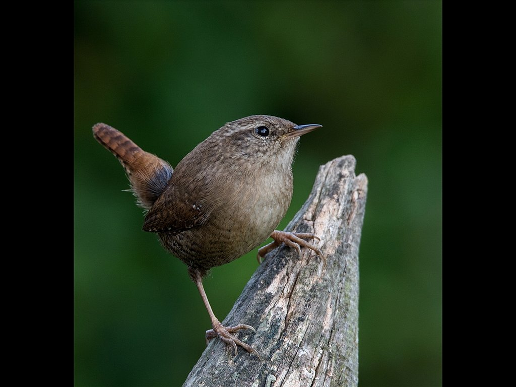 Wren (c) Mike Atkinson [Commended]