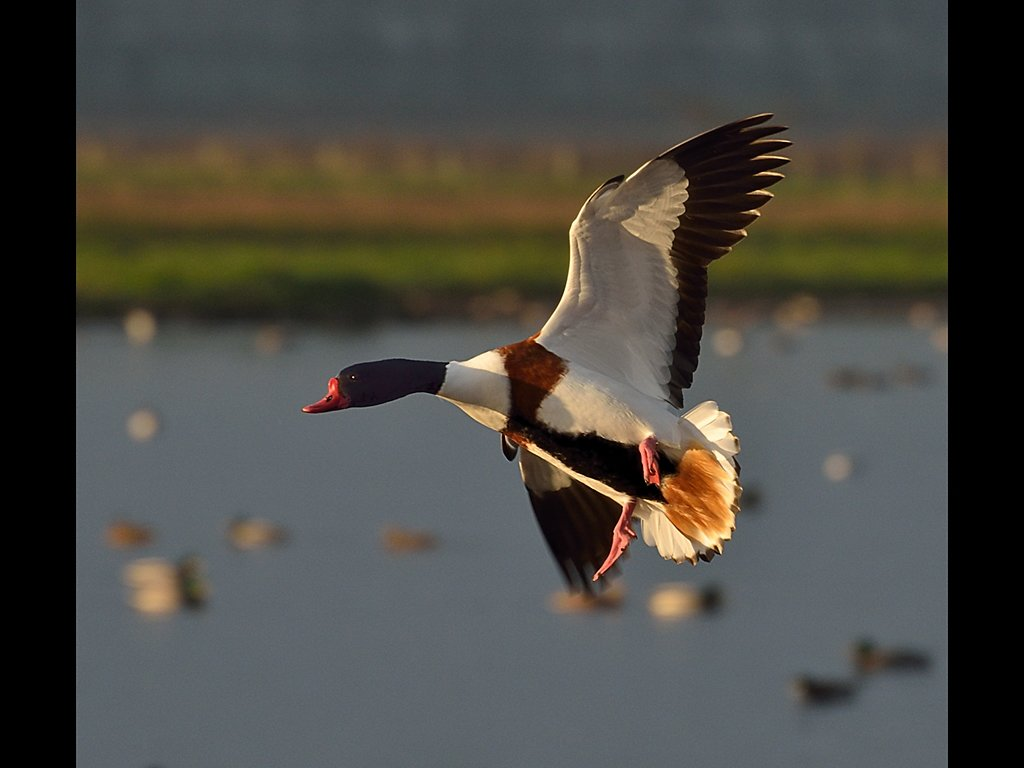 Shelduck (c) Ruth Wood [Commended]