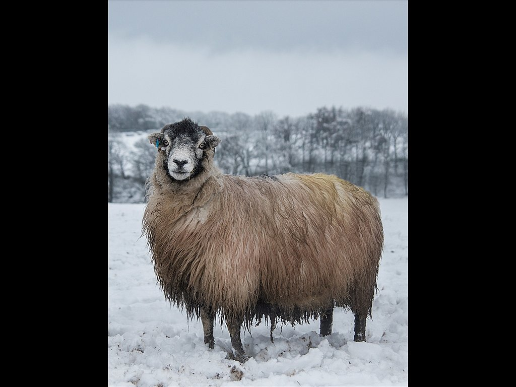 What ewe looking at (c) Kirsty Railton [Highly Commended]