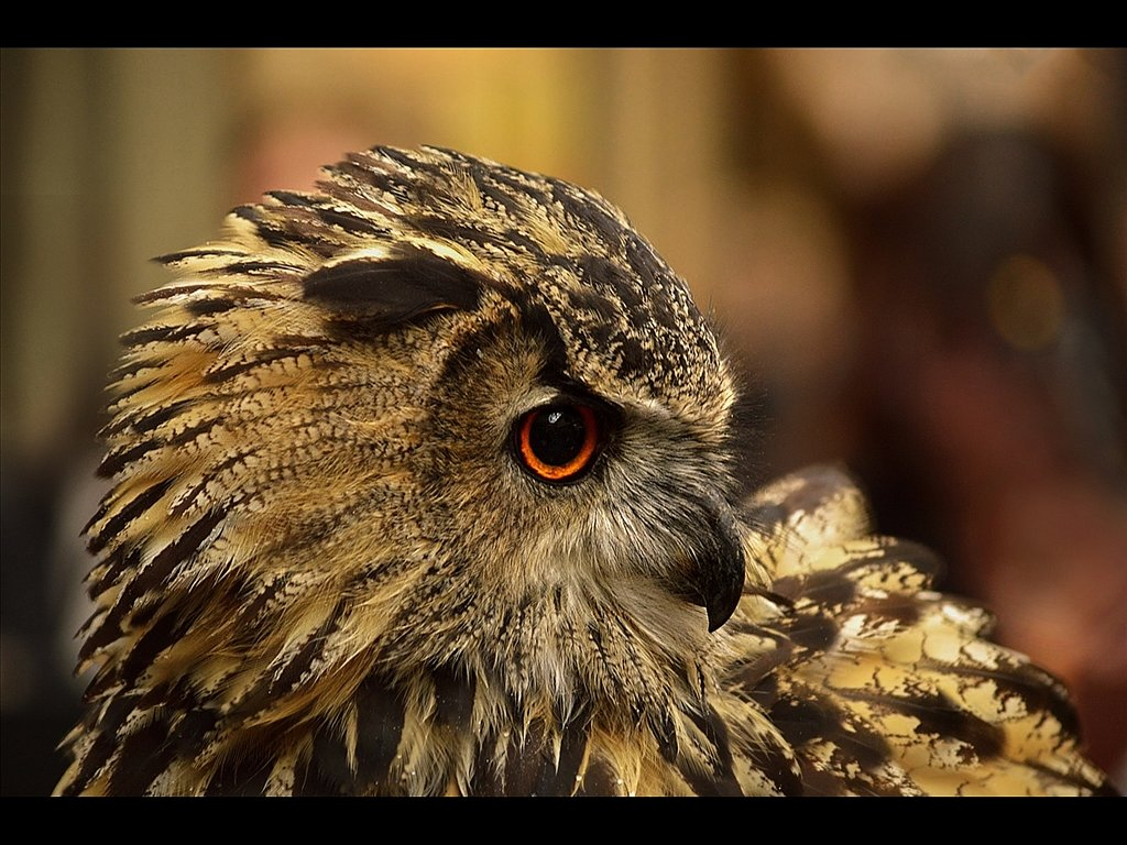 eagle owl (c) Kirsty Railton [Highly Commended]