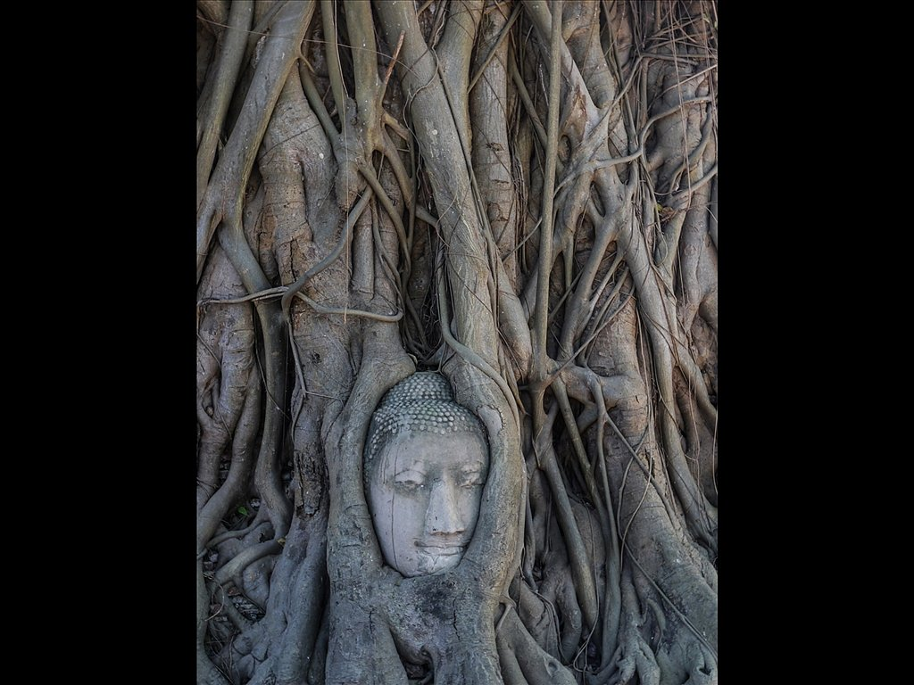 Buddha's head emeshed in roots (c) Sally Anderson [Commended]