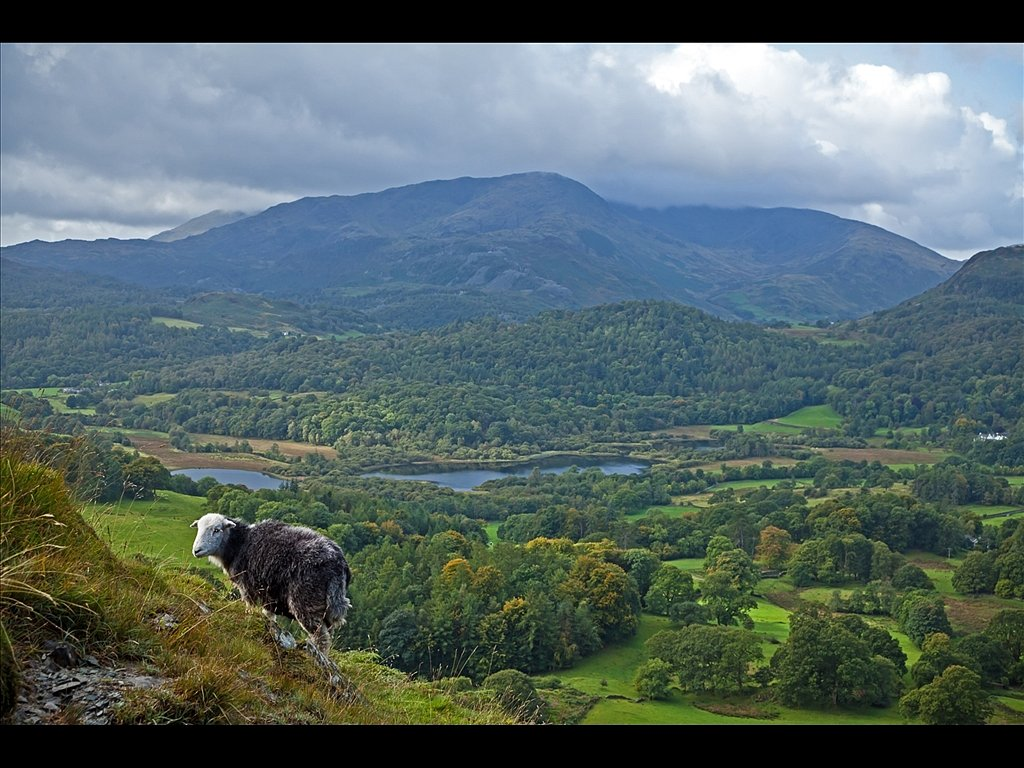 Ewe with a view (c) Michael Yates [Highly Commended]