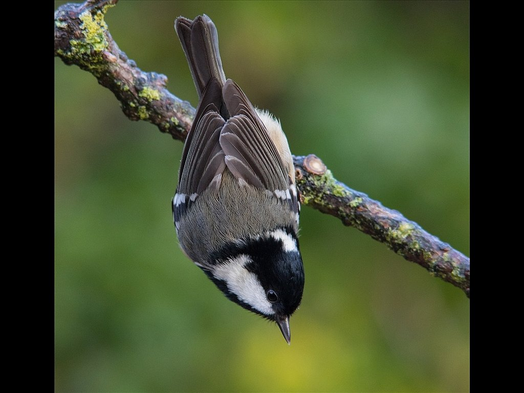 Acrobatic Coal Tit (C) Mike Atkinson