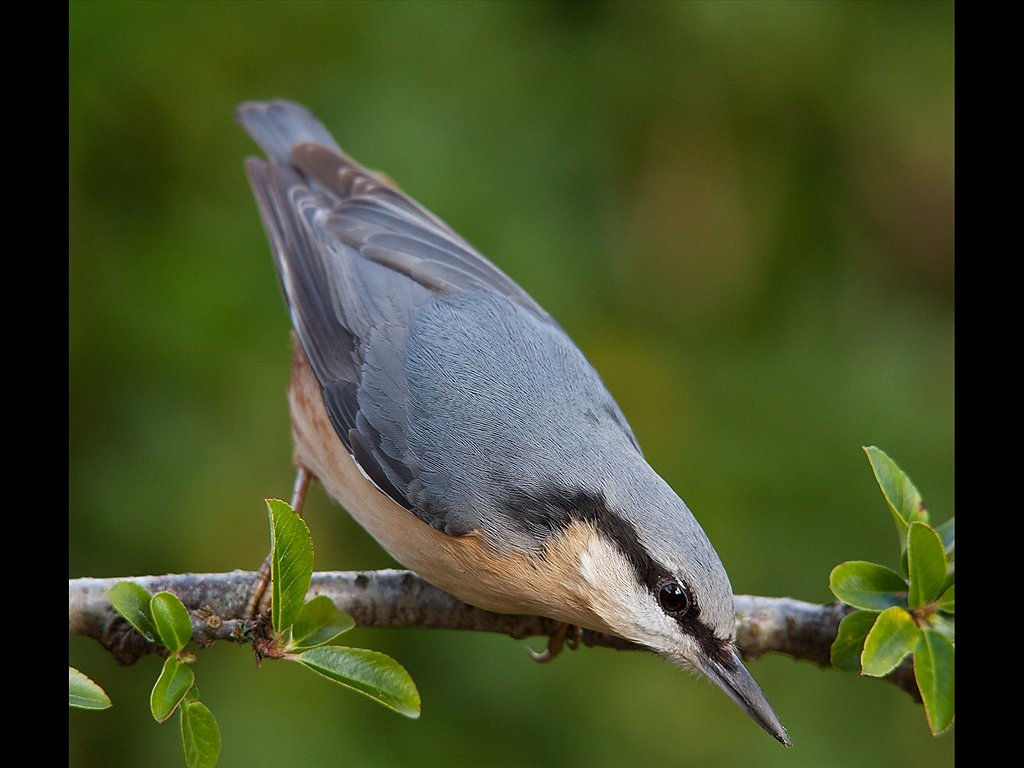 Nuthatch (C) Mike Atkinson