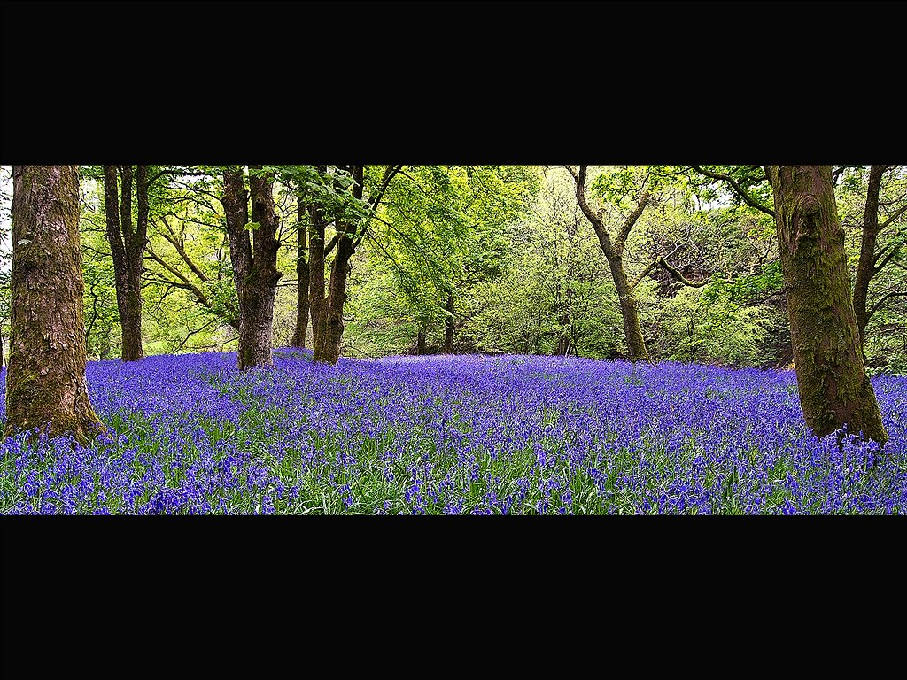 colour Bluebells (C) Karen Changdisingh