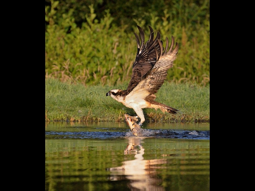 Osprey (C) Ruth Wood