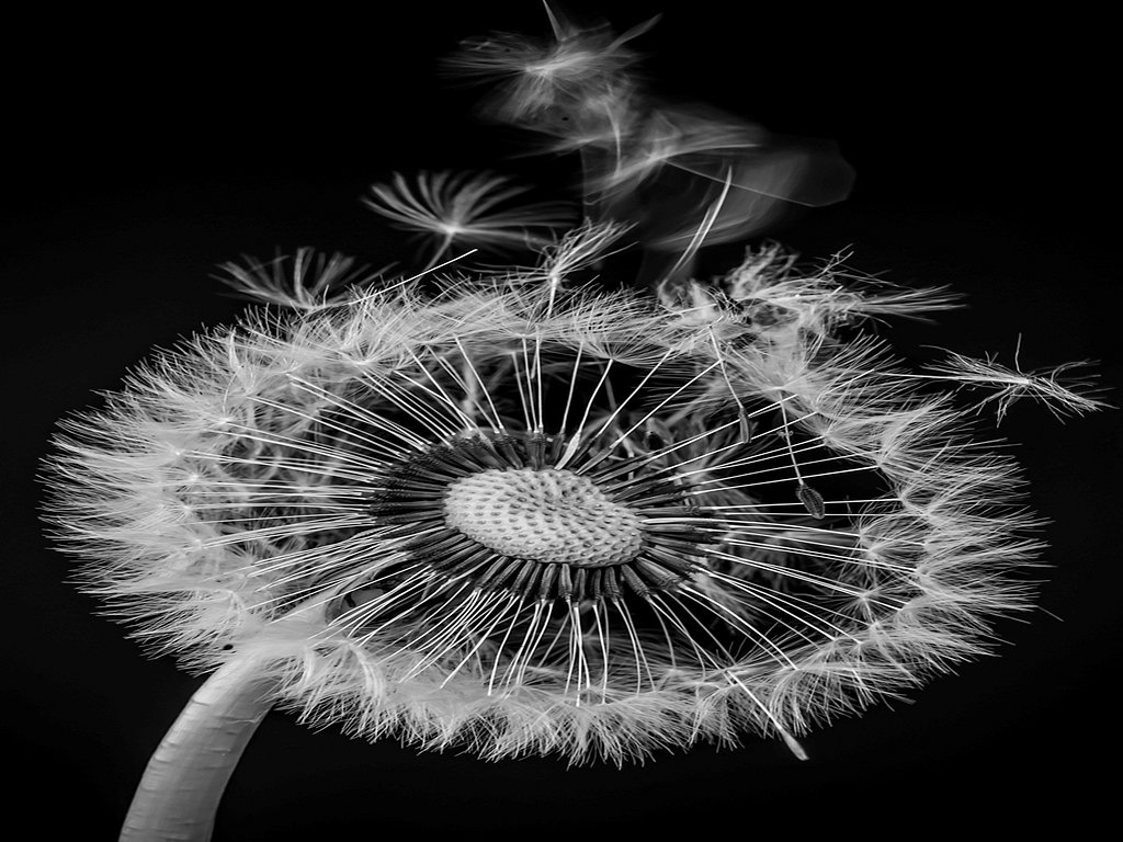 Dandelion clock (c) Allan Hartley [Commended]