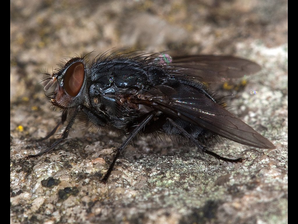Blue Bottle Caliphora Vomitoria (c) Mike Atkinson [Highly Commen