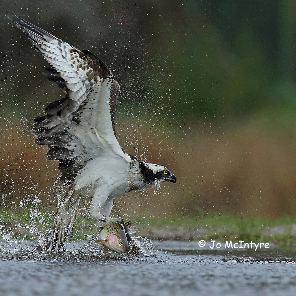 Osprey fishing in Scottish loch