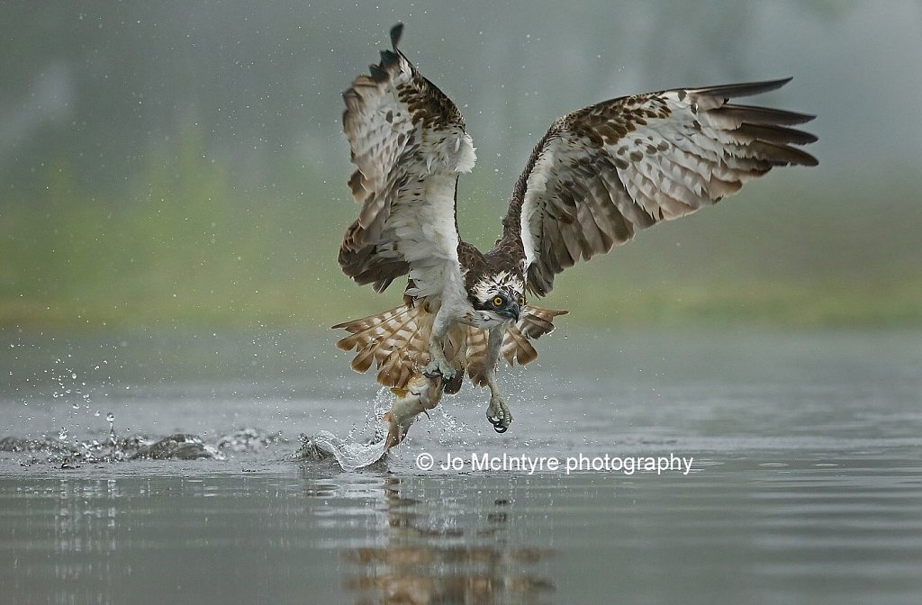 Osprey fishing in the mist