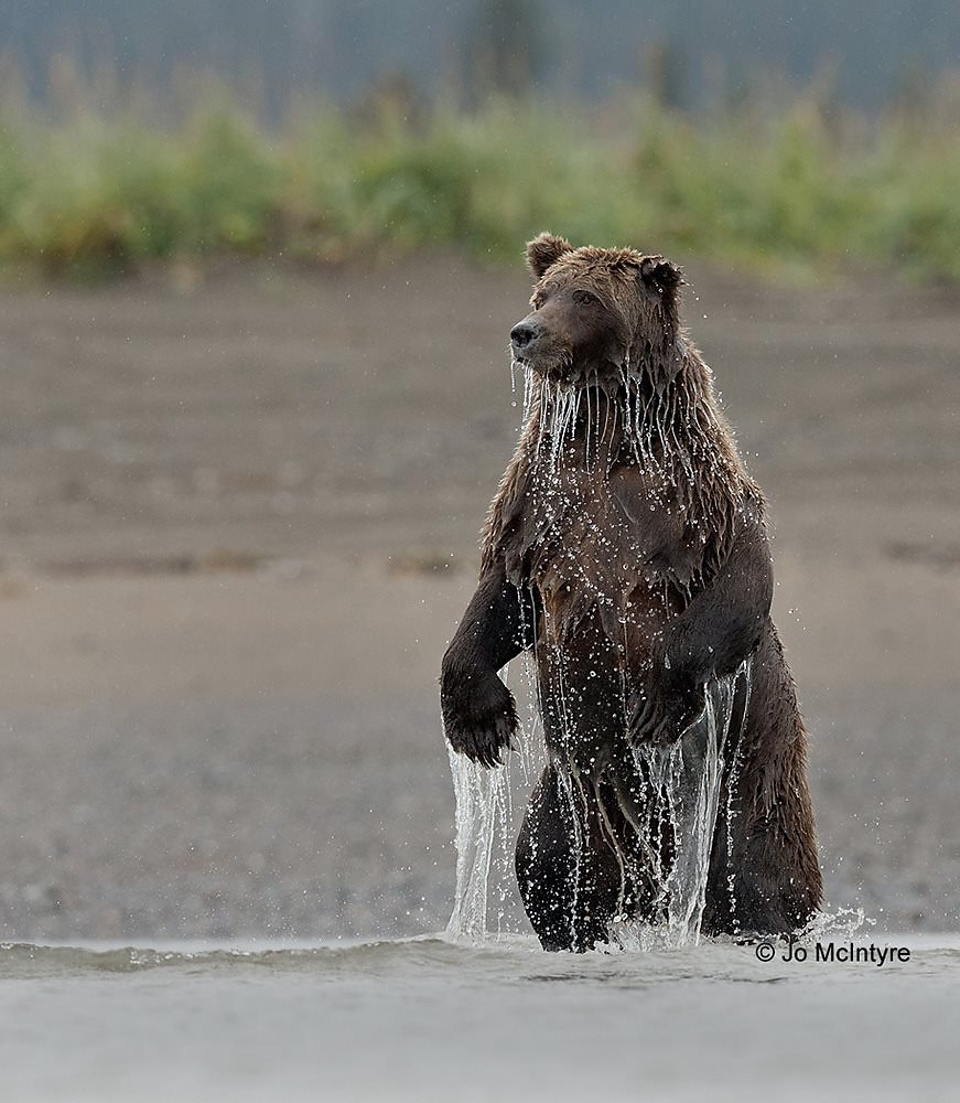 Wild female grizzly, Alaska