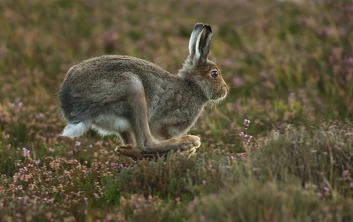 Mountain hare running in heather