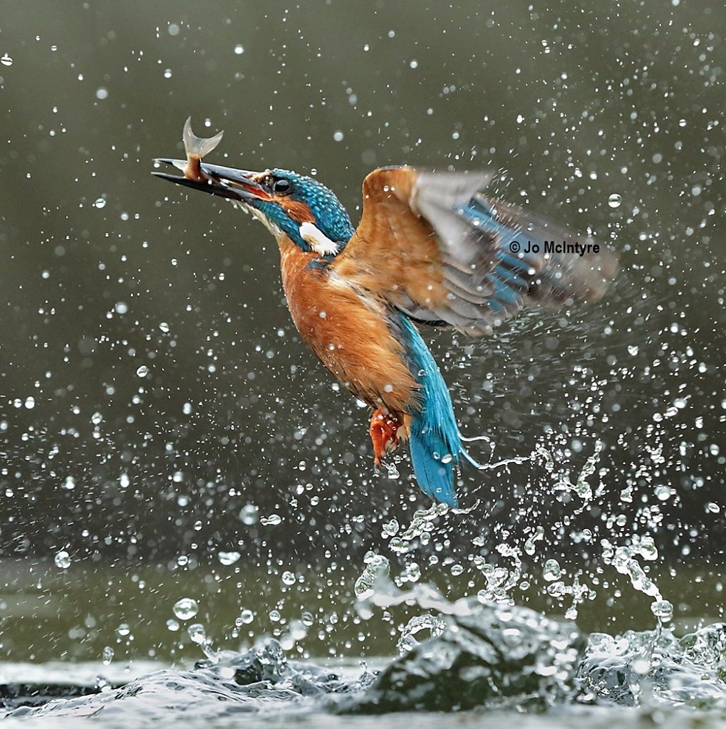 Kingfisher with catch