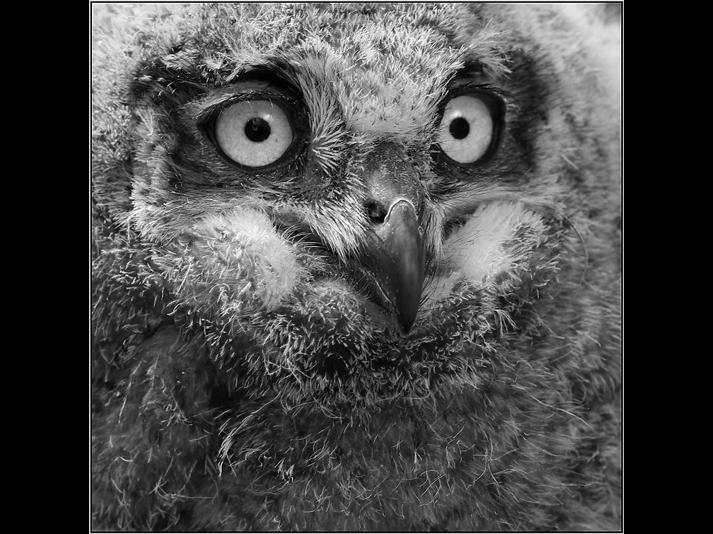 Eagle Owl Chick (c) Mike Atkinson [Commended]