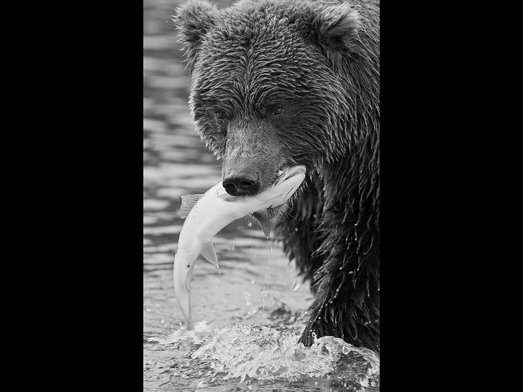 Wild grizzly fishing (c) Jo McIntyre [Highly Commended]