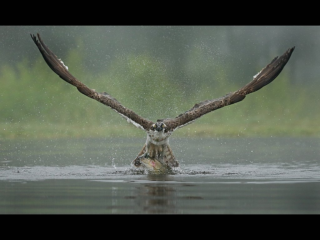 osprey takeaway (c) Jo McIntyre [Highly Commended]