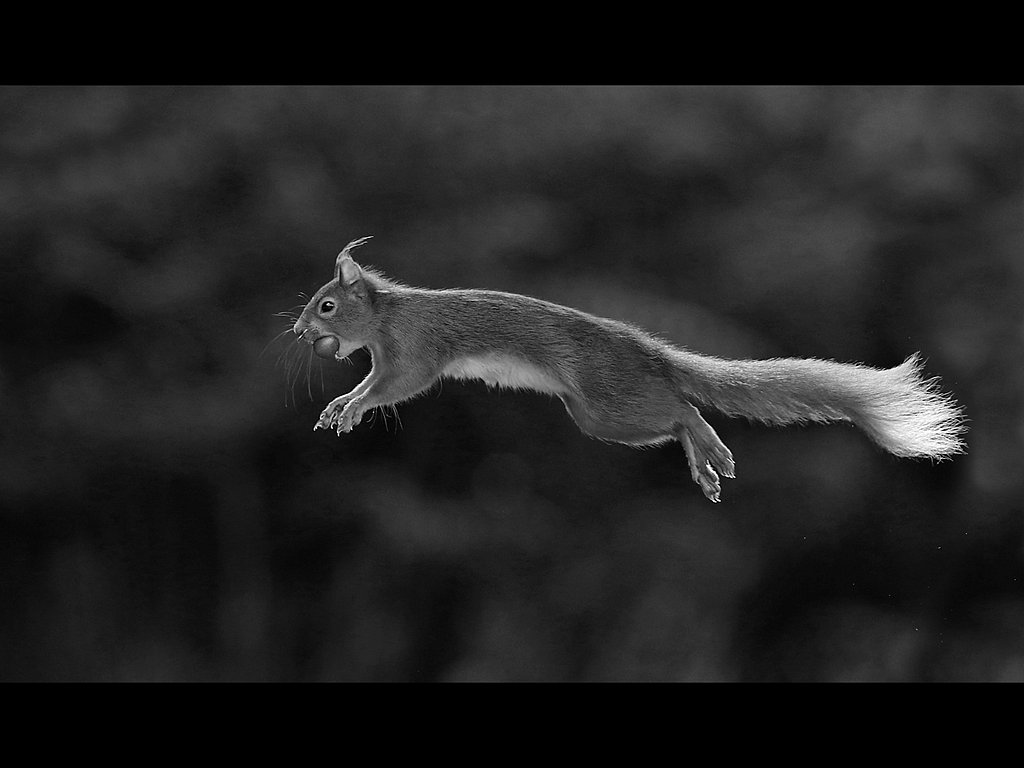Leaping red squirrel (c) Jo McIntyre [Highly Commended]