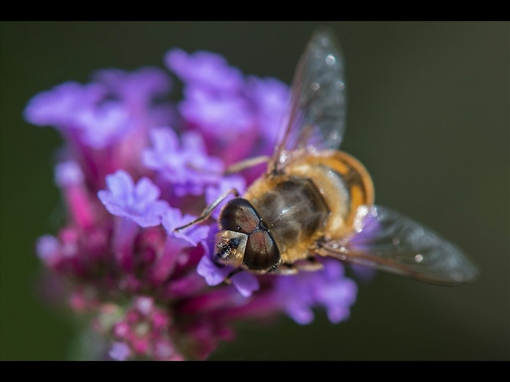 Hoverfly on Verbena (c) Kirsty Railton [Commended]