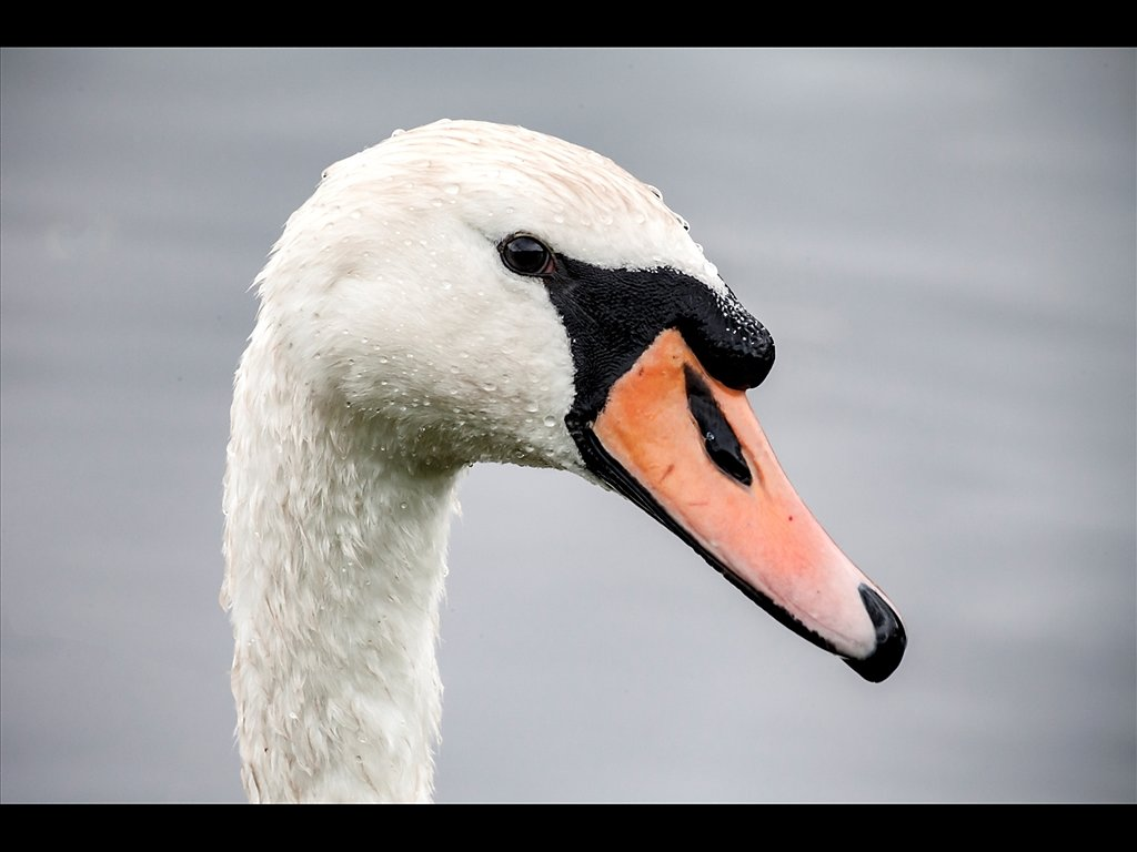 Mute Swan (c) Michael Yates [Highly Commended]