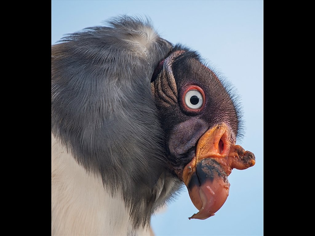 King Vulture (c) Kirsty Railton [Commended]