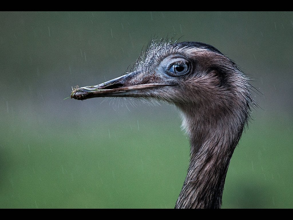 Greater Rhea In the Rain (c) Tina Cordukes [Commended]