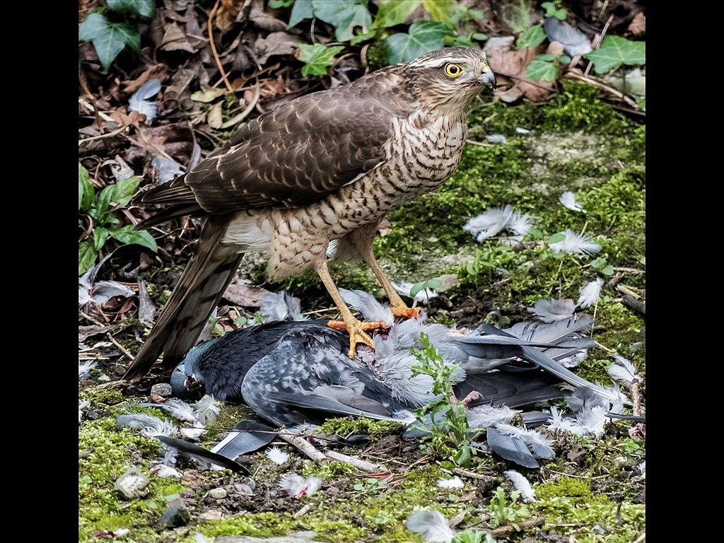 Sparrowhawk with Kill (c) Graham Harvey [Commended]