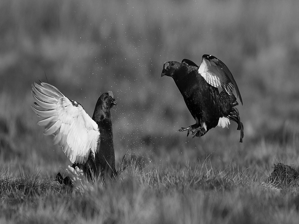 black grouse lekking (c) Jo McIntyre [Commended]