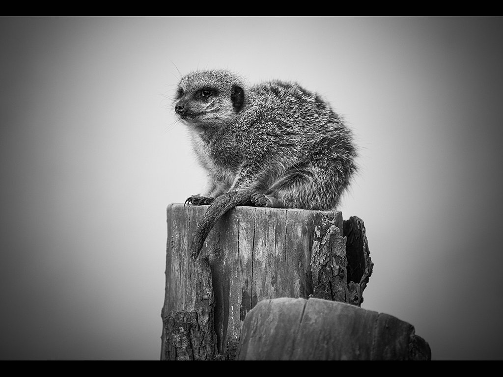 Meercat Guarding His Post (c) Tina Cordukes [Commended]
