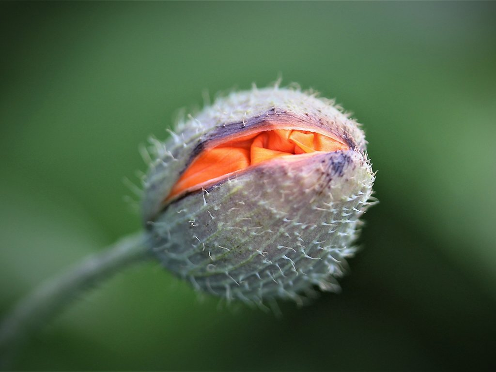 Poppy flower ready to hatch (c) Brian Forde [Commended]
