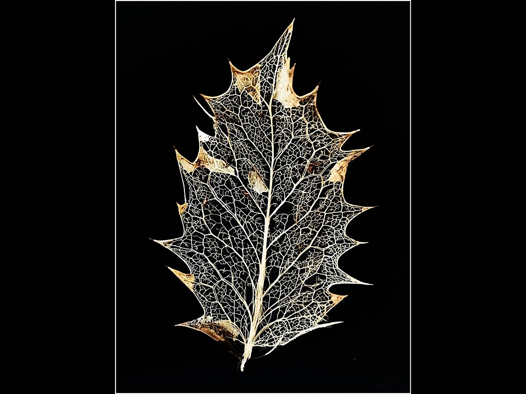 Holly leaf skeleton (c) Brian Forde [Highly Commended]