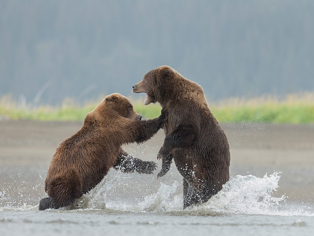 wild fighting grizzly bears Alaska (c) Jo McIntyre [Highly Comme