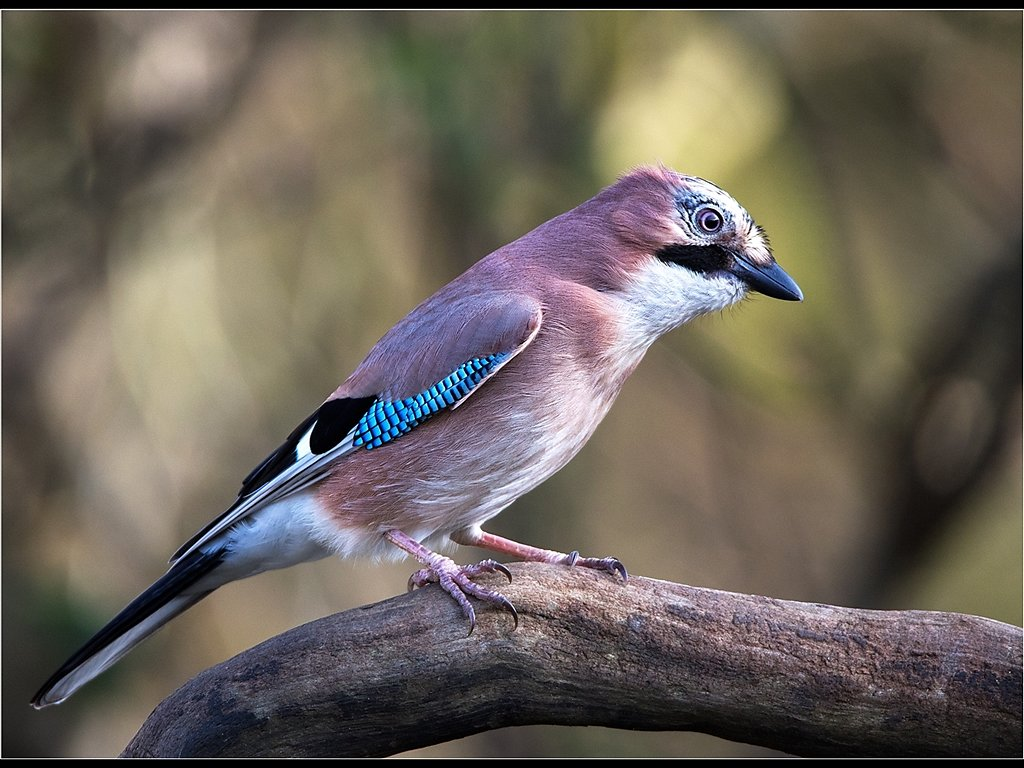 Young Jay (c) Mike Atkinson [Highly Commended]