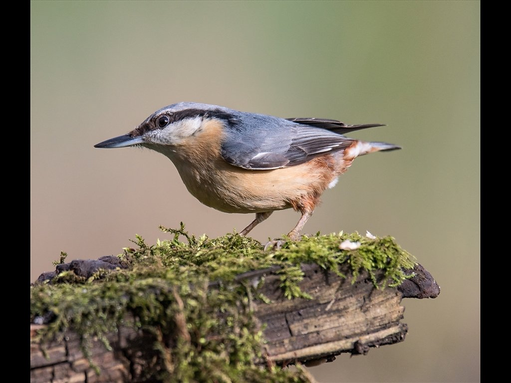 Nuthatch (c) Graham Harvey [Highly Commended]