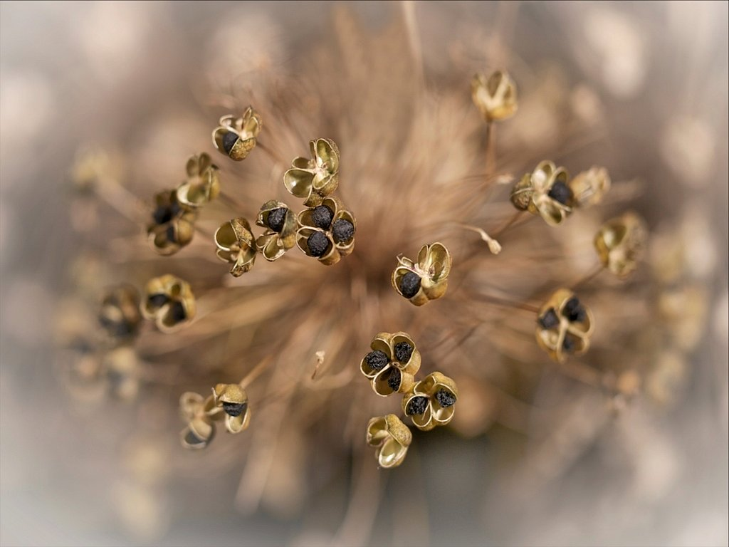 allium pod bursts (c) Reg Haslam [Commended]