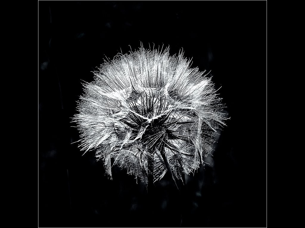 Hawkbit seedhead (c) Ken McGrath [Highly Commended]
