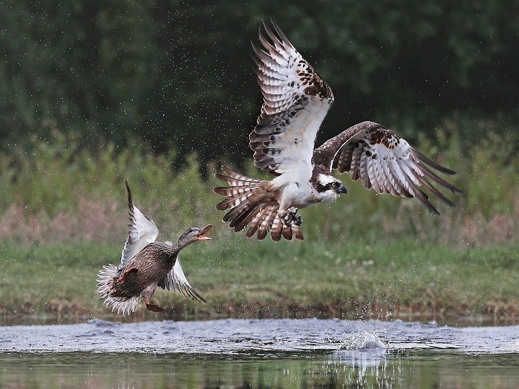 mallard chasing osprey (c) Jo McIntyre [Highly Commended]