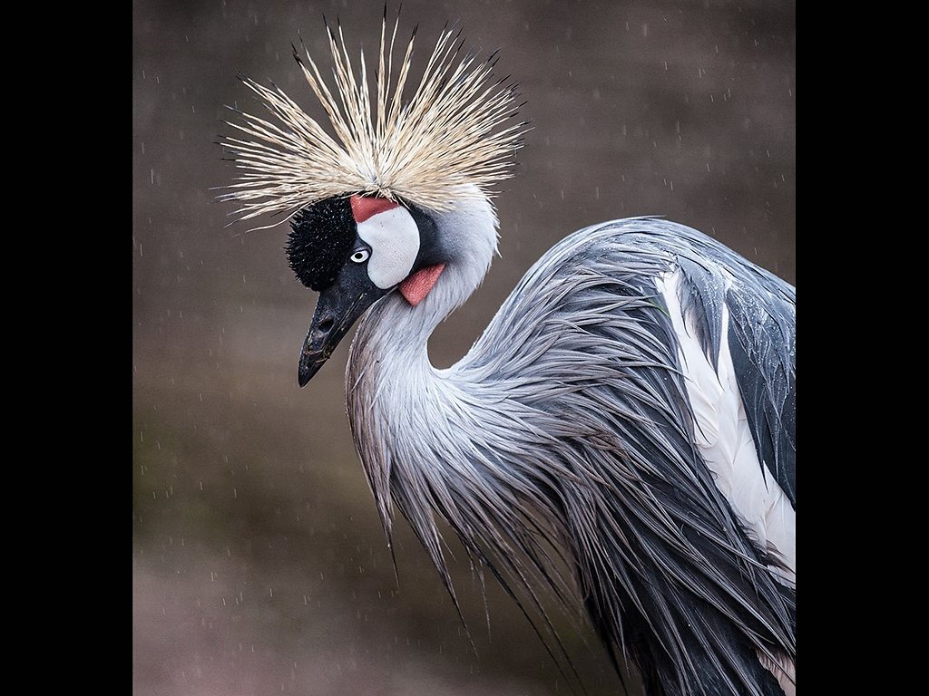 Wet Grey Crowned Crane (c) Tina Cordukes [Highly Commended]