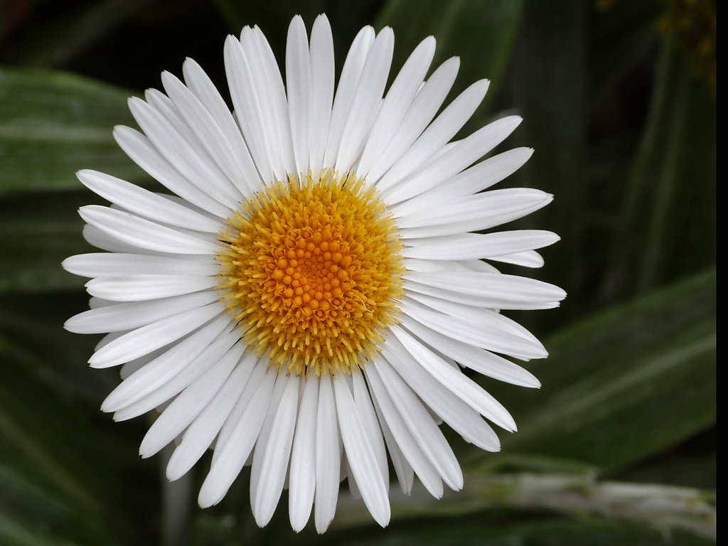 Daisy (c) Pat Marshall [Commended]