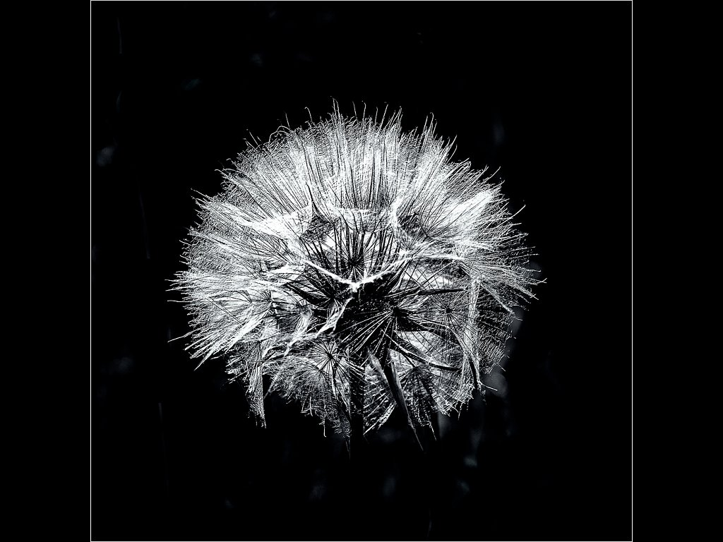 Hawkbit Seedhead (c) Ken McGrath [Commended]