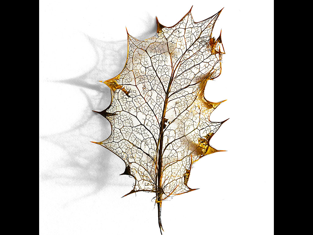 Holly leaf skeleton (c) Brian Forde [Commended]