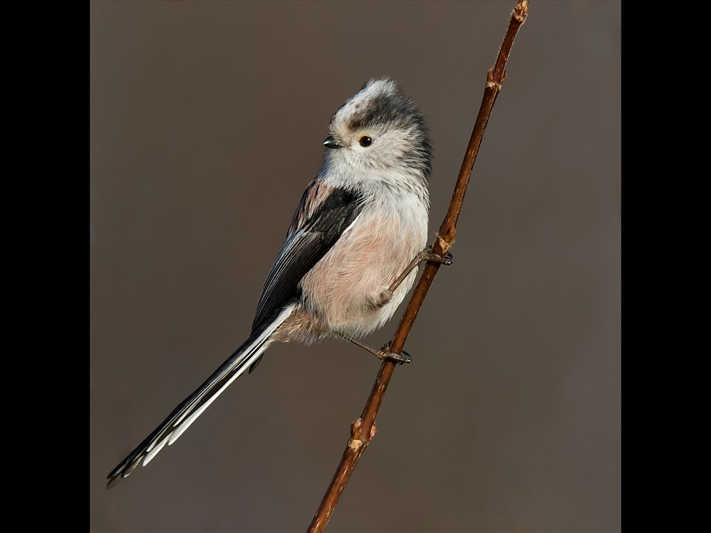 Long Tailed Tit (c) Mike Atkinson [Highly Commended]