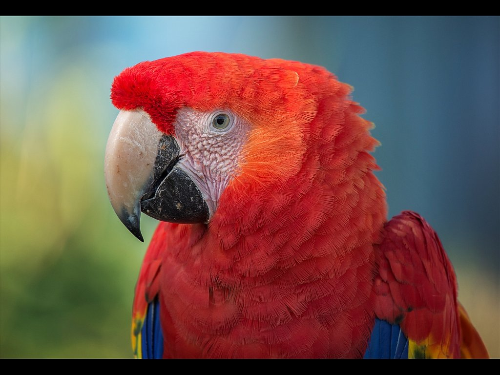 Red Macaw (c) Kirsty Railton [Commended]
