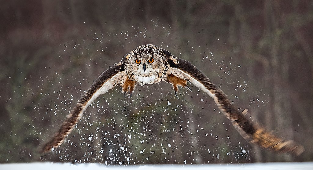 Eagle owl hunting, Cairngorms