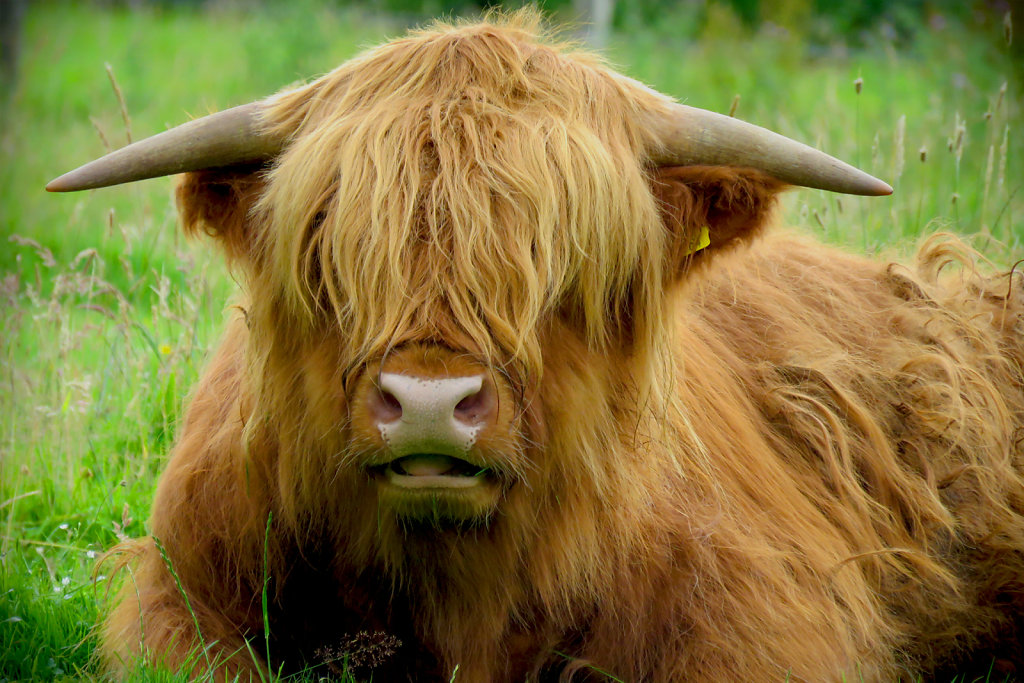 'Hairy Coo' Copyright (C) Carolyn Phillips 2019