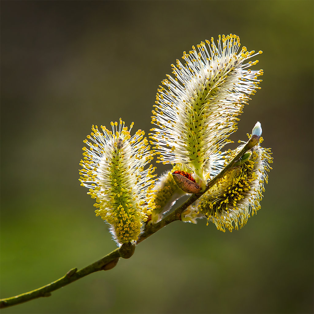 'Catkins' Copyright (C) Alan Phillips 2019