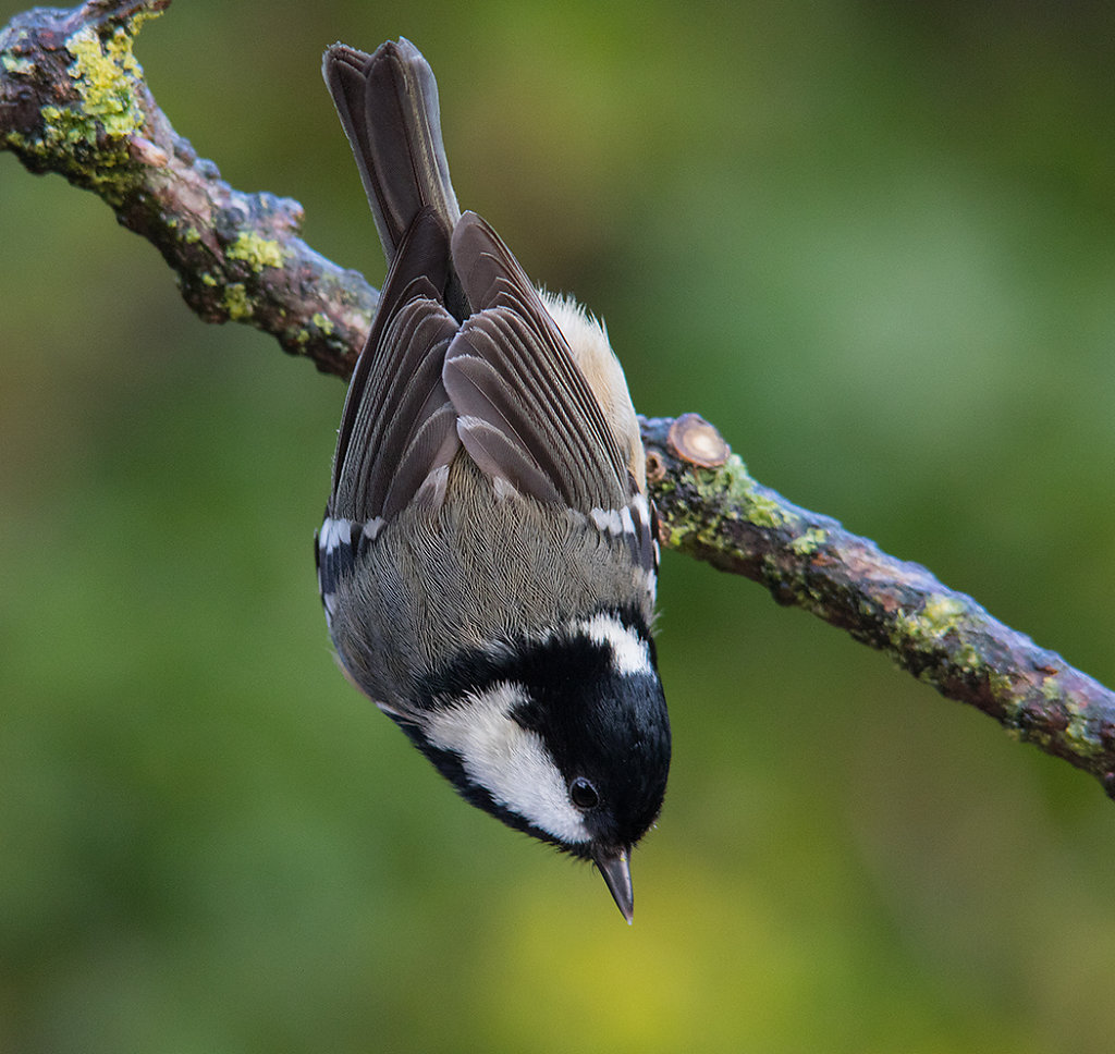 Acrobatic coal tit