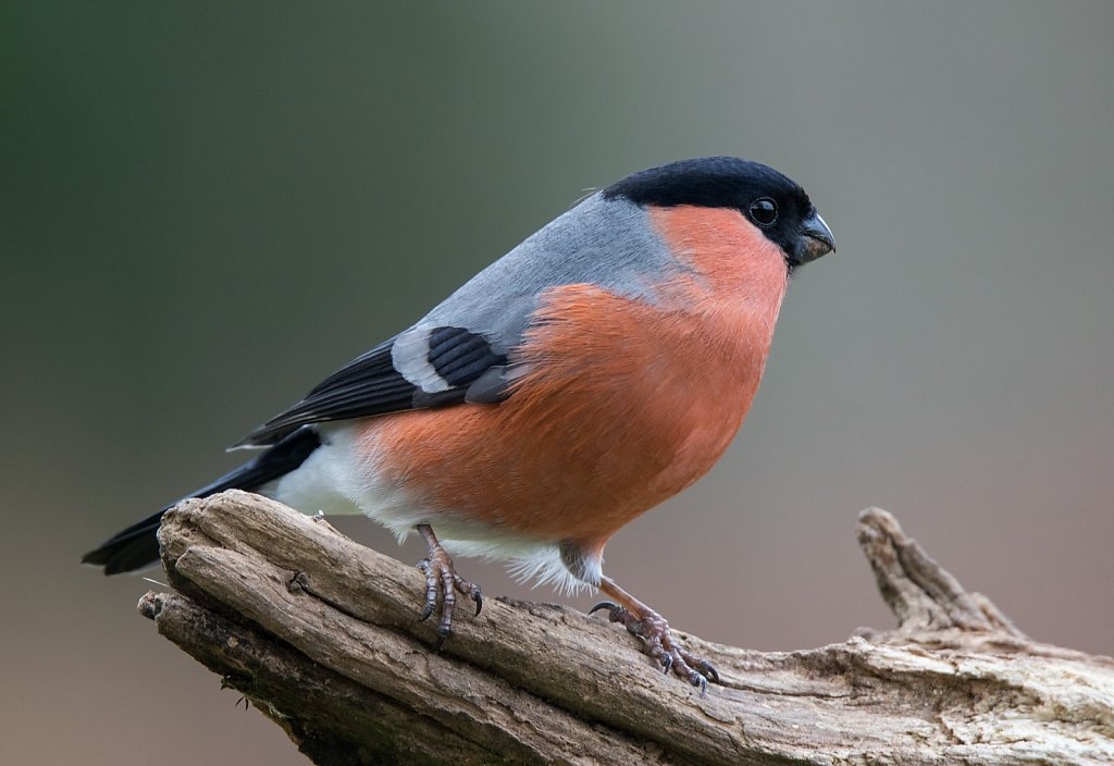 Male Bullfinch on dead branch
