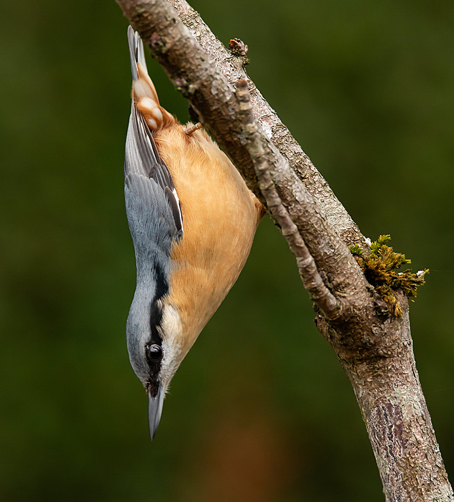 Nuthatch on horse chestnut sapling